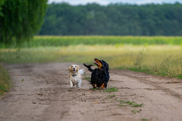 밖에서 노는 두 마리의 개. 위를 보고 앞으로 달려갑니다. 자연 배경입니다. 작은 품종.
