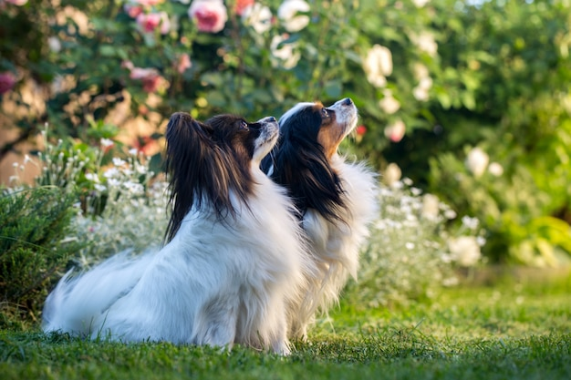 Two dogs in a rose garden