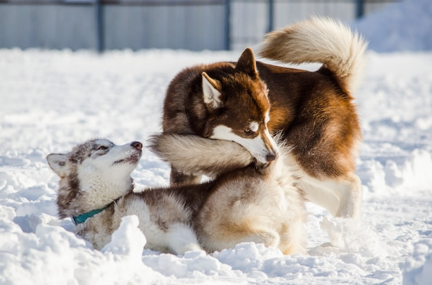 Two dogs of siberian husky breed play with each other. husky dogs has brown coat color.
