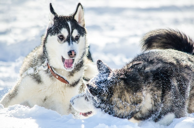 Two dogs of siberian husky breed play with each other.
