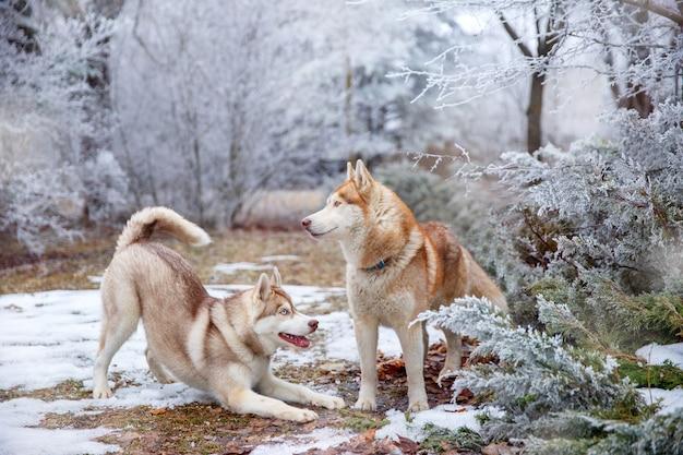 Две собаки сибирский хаски играют зимой