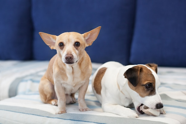 Two dogs sit on the couch and share a bone. the dog smog in eyes. close-up portrait of a dog. jack russell terrier and red dog. canine friendship. domestic dogs in the apartment.