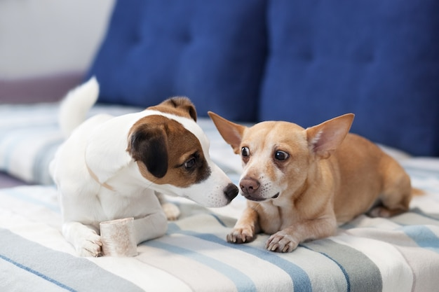 Two dogs sit on the couch and share a bone. dogs kiss. close-up portrait of a dog. jack russell terrier and red dog. canine friendship. domestic dogs in the apartment. dogs nose to nose.
