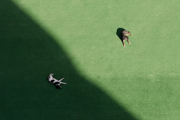 Two dogs sleep on a green lawn, one in the shade, one in the sun. top view, aerial view