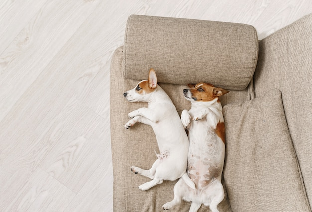 Two dogs sleeping on a beige sofa at home.