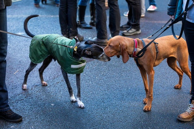 Two dogs sniff each other. city dogs walking