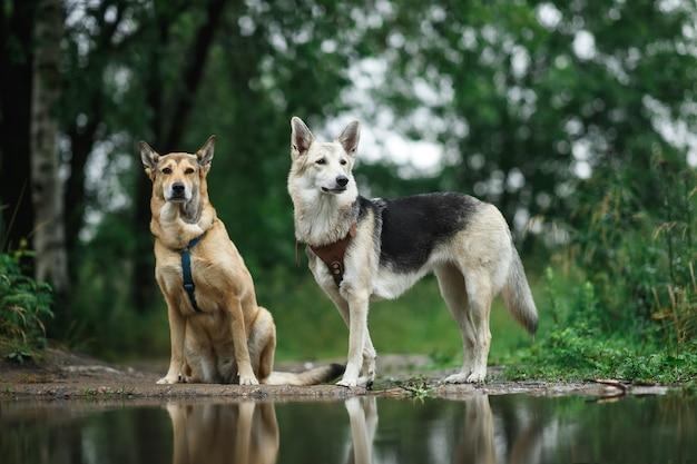 Две собаки, стоящие у лужи