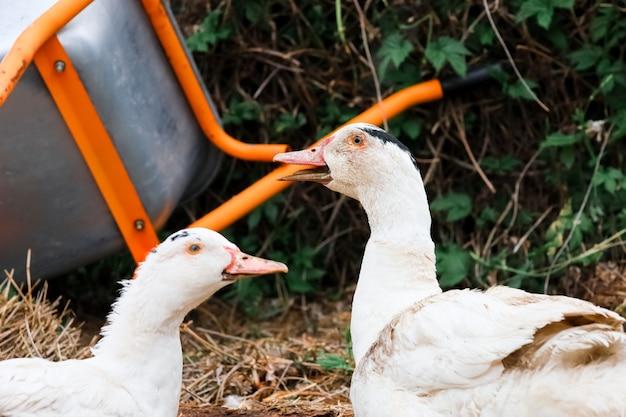 Two domestic ducks quack together