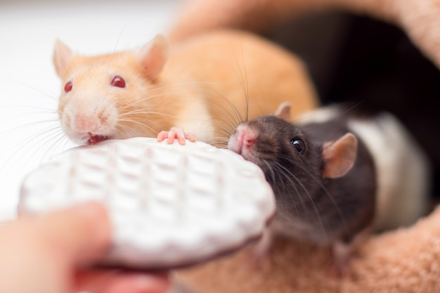 Two domestic rats gnaw cookies from hands.