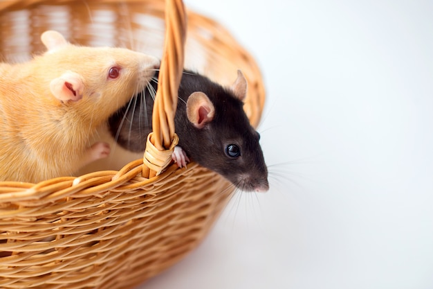 Two domestic rats sit in a wicker basket