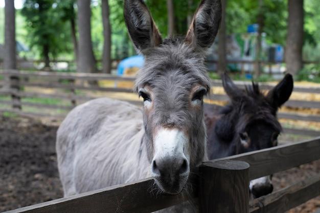 Two donkeys behind the fence. hoofed animals