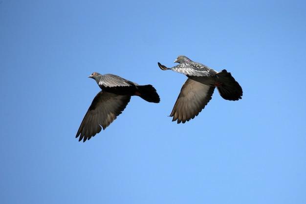 Два голубя в небе