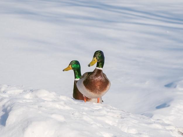 晴れた日に雪の中で2つのドレイク。