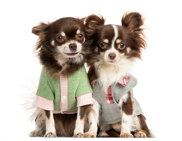 Two dressed-up chihuahuas sitting next together, isolated on white