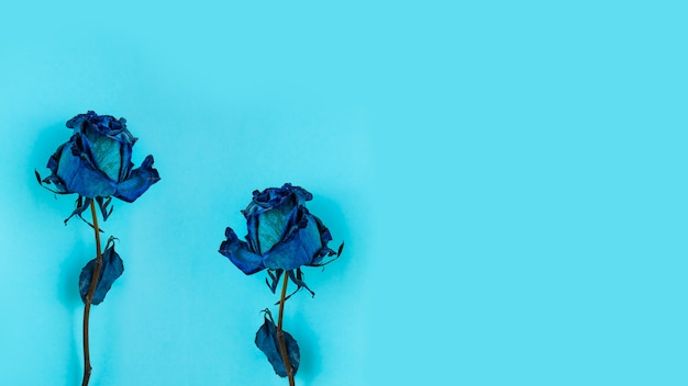 Two dried blue rose
