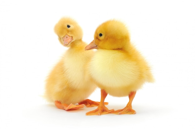 Two ducklings isolated