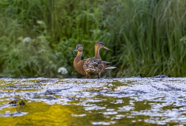川の水で2羽のカモ
