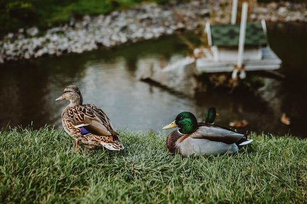 湖の近くの公園で2羽のカモ