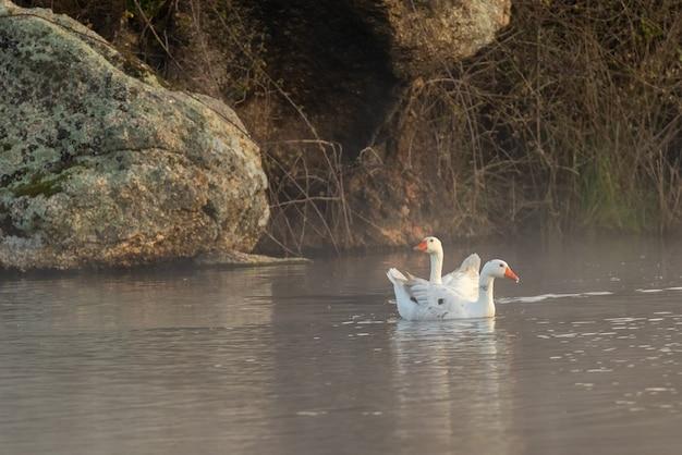 자연 환경에서 두 마리의 오리.