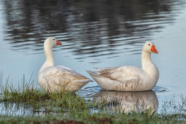 自然環境にいる2羽のアヒル