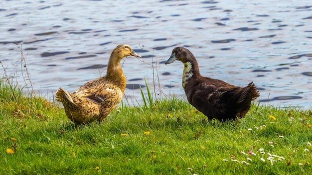 Две утки на берегу реки. выращивание уток на ферме