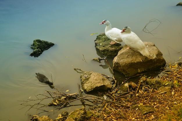 湖の岸に2羽のアヒル