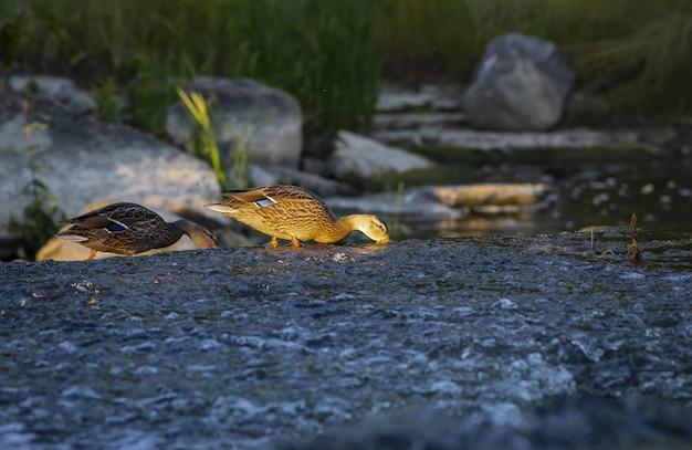川の水で食べ物を探している2羽のカモ