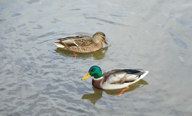 Two ducks swimming on water with reflections of spring.