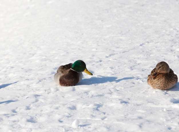 ヨーロッパで越冬する2羽のアヒル、雪と霜が多い冬の季節、川の近くの都市に住む2羽のアヒル、冬には人々から餌を与えられます