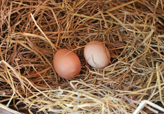 Two eggs lie on the background of hay
