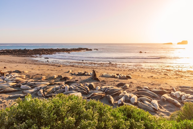 Two elephant seals fighting and howling at each other at elephant seal vista point