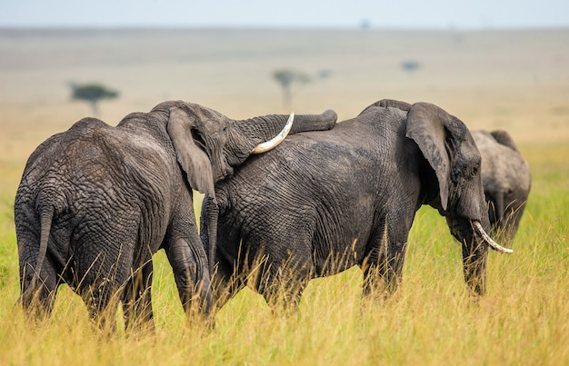 두 코끼리가 사바나에서 서로 놀고 있습니다.