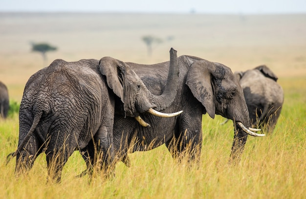 Two elephants are playing with each other in the savannah.