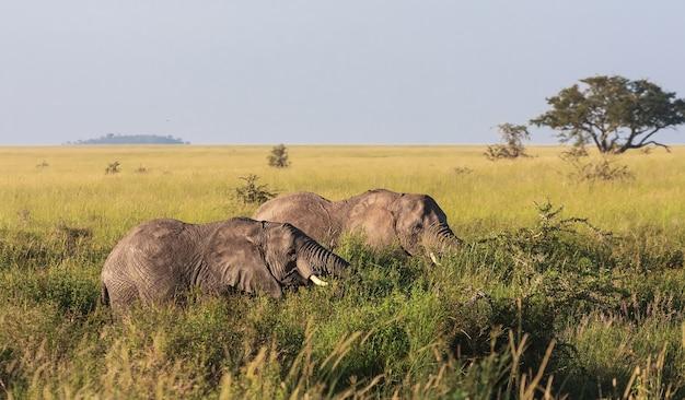 Два слона в кустах. серенгети, танзания