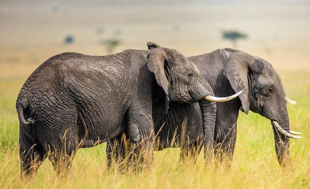 사바나에있는 두 마리의 코끼리.
