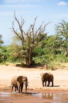 Two elephants stand on the bank of a river