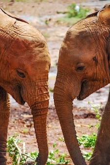 Two elephants together