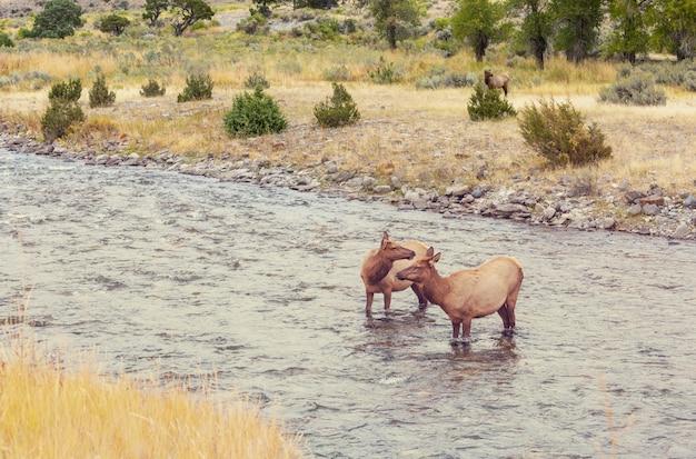 옐로 스톤 국립 공원의 끓는 강물에 서있는 두 마리의 엘크