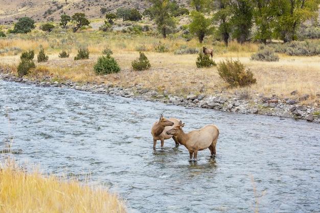イエローストーン国立公園の沸騰する川の水に2匹のエルクが立っています