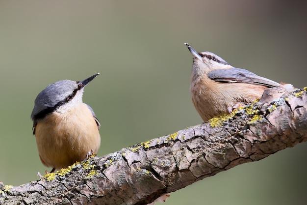 2つのユーラシアのゴジュウカラが森の谷で出会い、食べ物を求めて戦う準備ができています。ぼやけた薄緑色で隔離された鳥