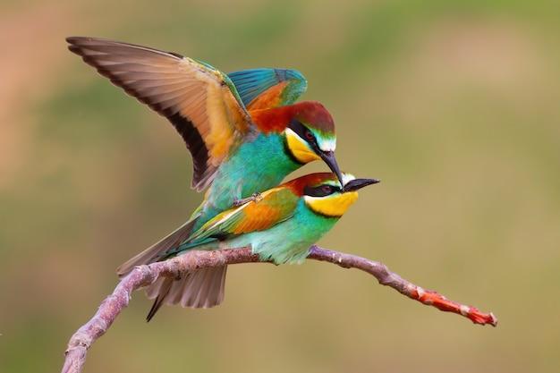 春の自然の中で交尾期に交尾する2匹のヨーロッパハチクイ。