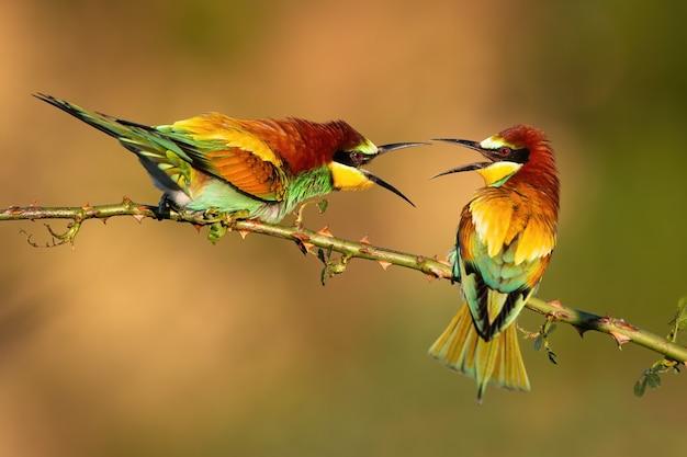 とげのあるローズヒップの小枝で領土を争う2人のヨーロッパハチクイ