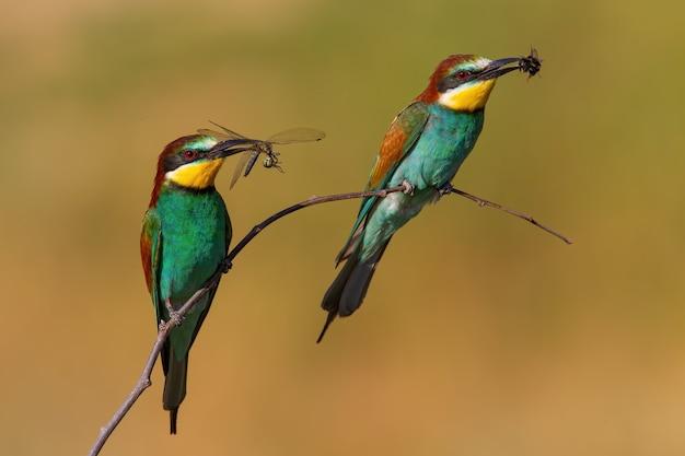 夏の自然の中で小枝に座っているくちばしのキャッチを持つ2つのヨーロッパハチクイ
