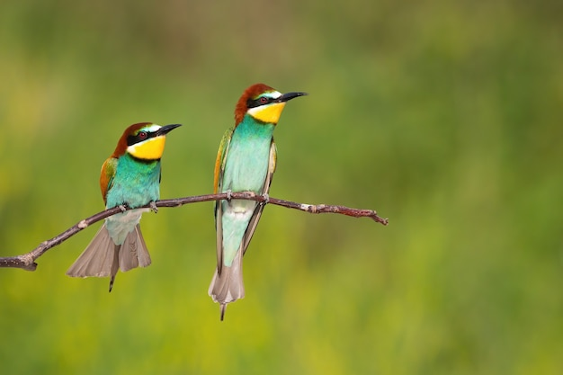 Two european beeeater looking on branch