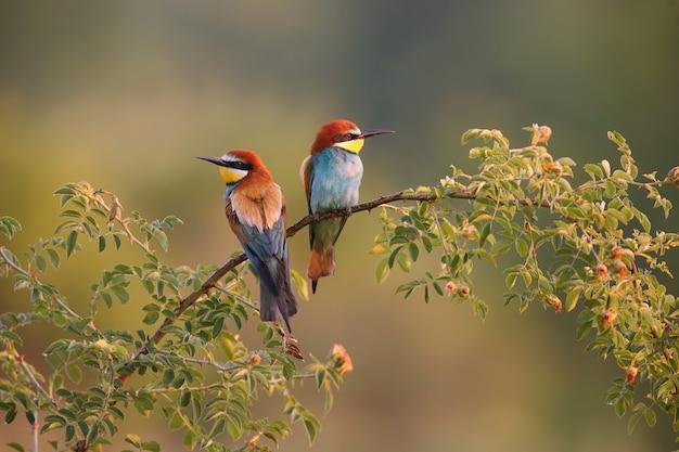 夏の朝に小枝に座っている2つのヨーロッパハチクイ