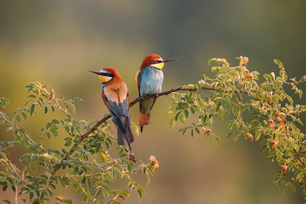 Two european beeeater sitting on twig in summer morning