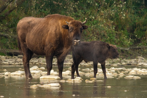 Two european bisons crossing the water in summer nature
