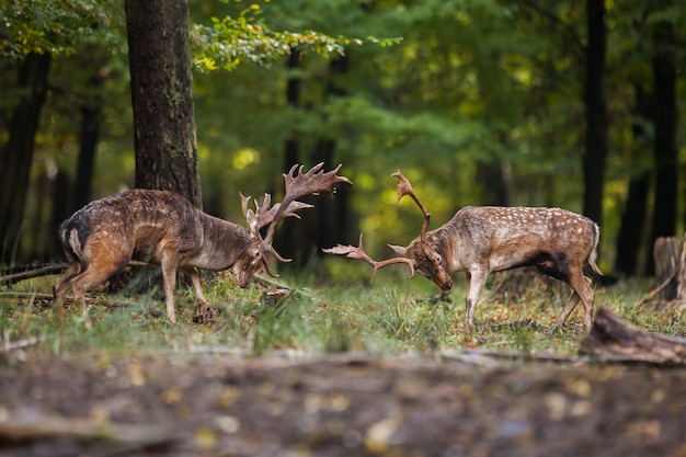 Two fallow deer fighting against each other in forest with copyspace.