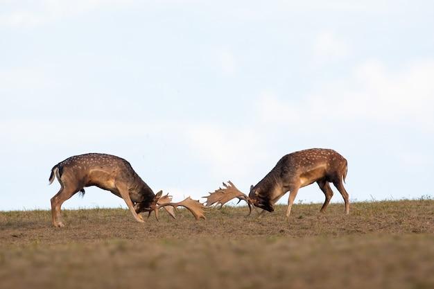 Два оленя оленей борются друг против друга рогами на лугу