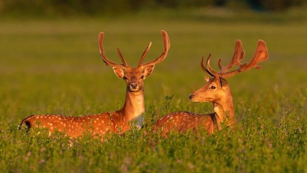 春の日没の牧草地に立っている2つのダマジカの雄鹿